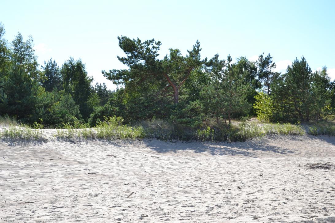 Plaża na całym odcinku wybrzeża wyspy osłonięta jest lasem sosnowym